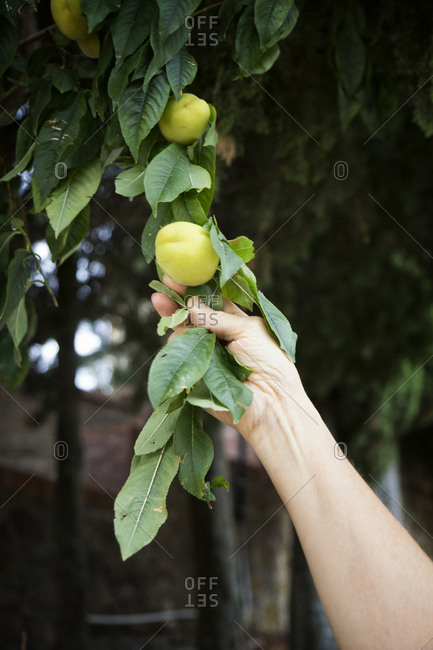 Italy- Sicily- apricots on a tree- unripe
