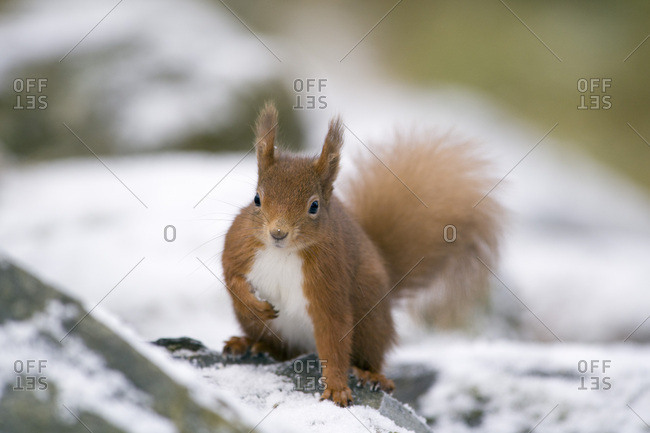 Red squirrel- Sciurus vulgaris- in winter