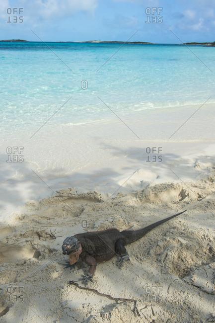 Caribbean- Bahamas- Exuma- Iguana on a white sand beach
