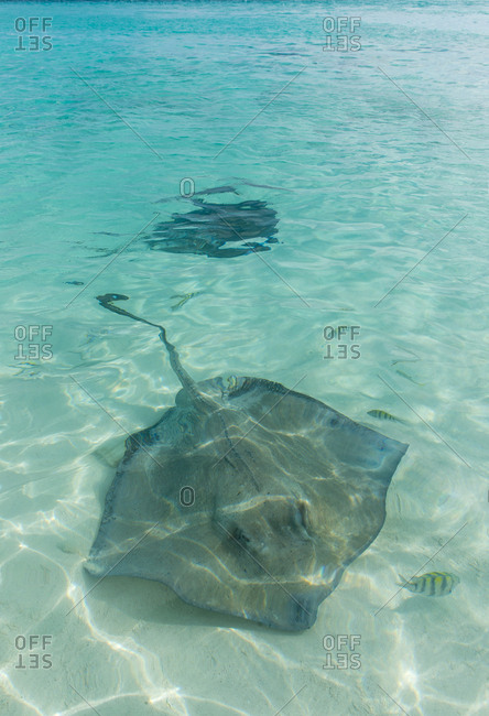 Caribbean- Bahamas- Exuma- Rays swimming in the clear turquoise waters