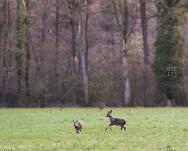 Young male deer chasing female deer in a field