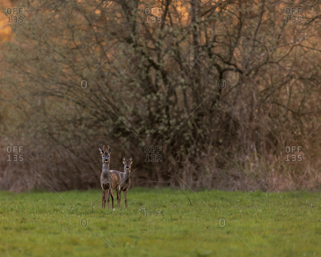 Two young deer in a field at sunset