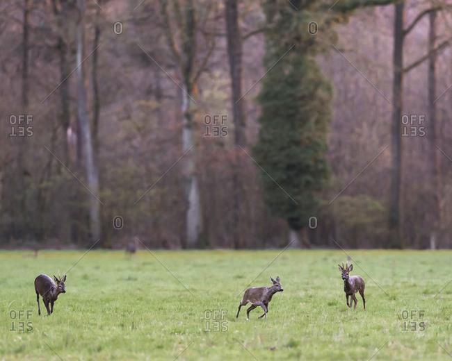 Three deer running in a field