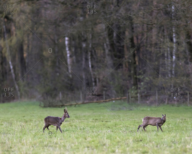 Two young deer walking in a field