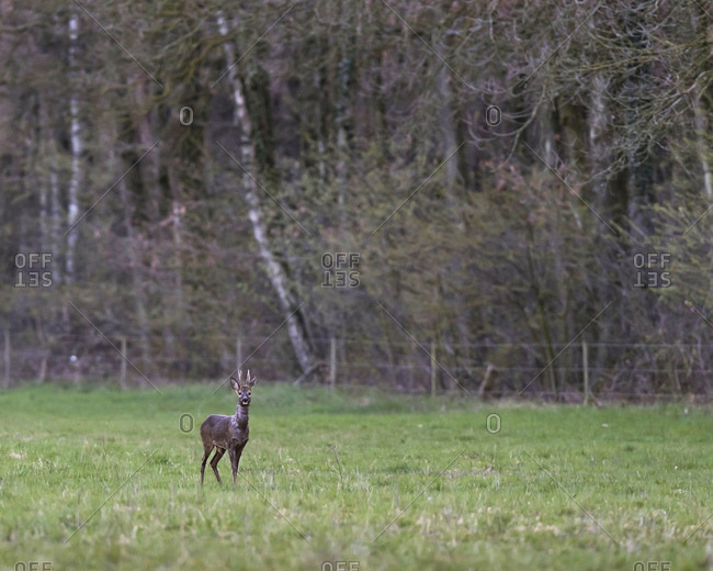 Young male deer standing alert in a field at sunset