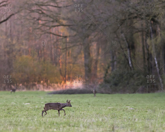 Young male deer in a field at sunset