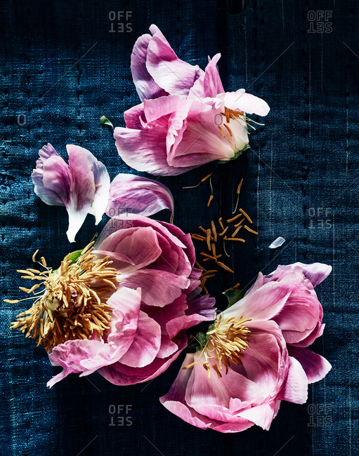 Pink peony pieces on denim background