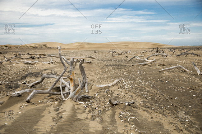 Dead trees in the desert in Baja California