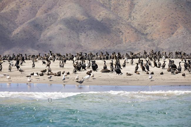 Flock of birds on the coast of Baja California