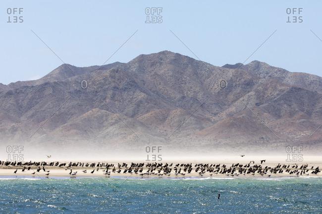 Flock of birds on a beach in Baja California