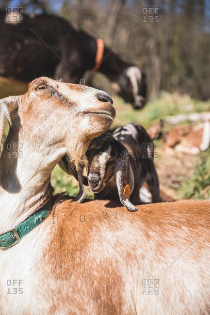 Baby goat nuzzling a mama goat.