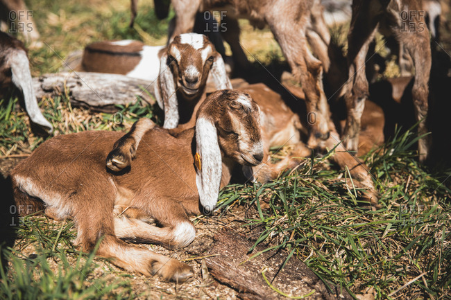 Pile of baby goats.
