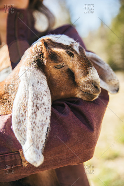 Close up of a baby Nubian dairy goat in the arms of a woman.