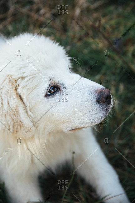 Great Pyrenees puppy in the grass