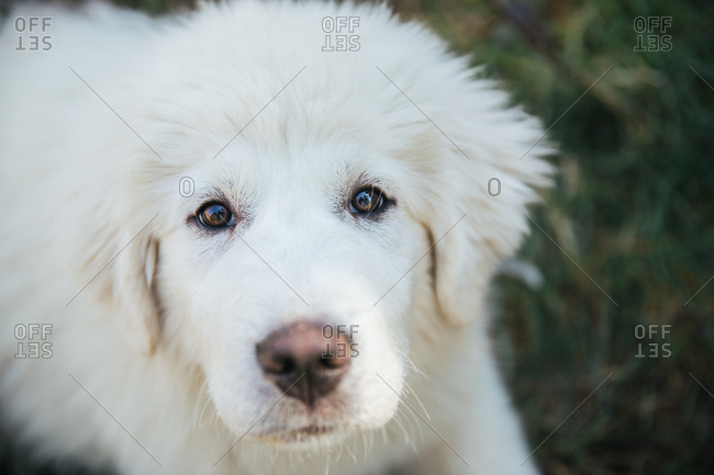 Great Pyrenees puppy looking at the camera