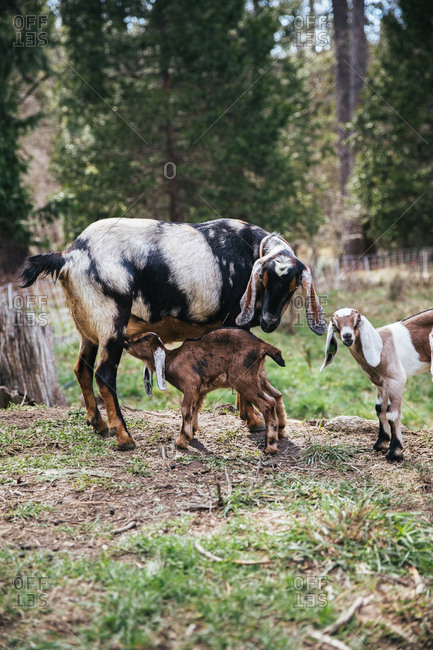 Baby goat nursing on a farm.
