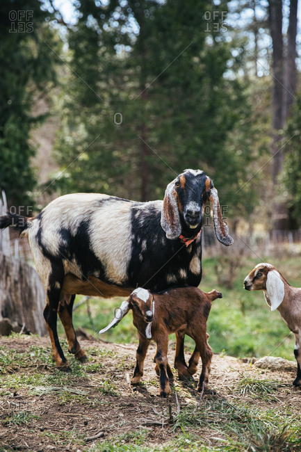 Baby goats next to a mama goat.