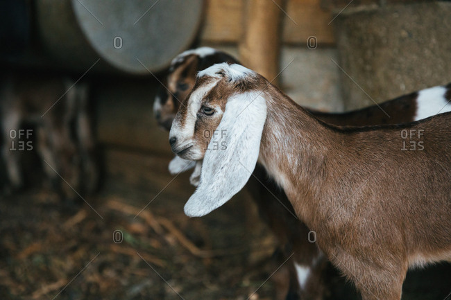 Baby goats in a barn.