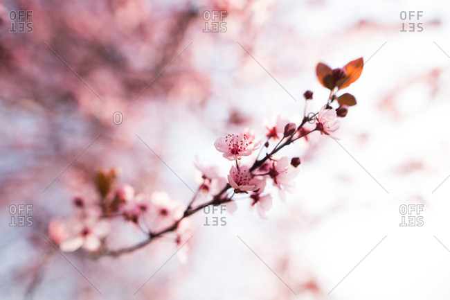 Cherry blossom branch close up
