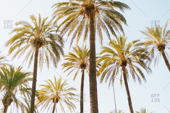 Palm trees of the Mediterranean