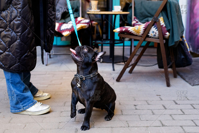 Young blonde woman playing with black french bulldog on a outdoor cafe terrace