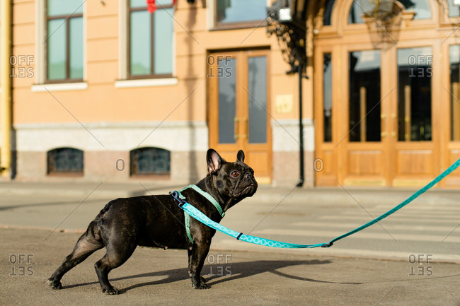 Black french dog on a blue leash sitting on the street