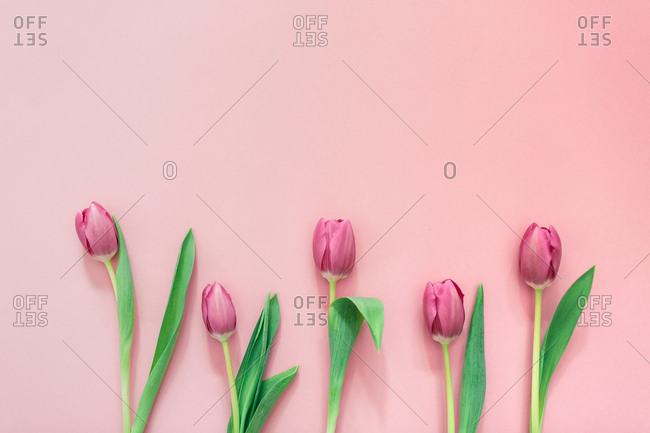 Pink tulips on clear background