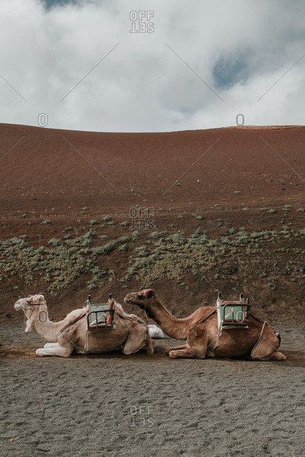 Camels resting near hill