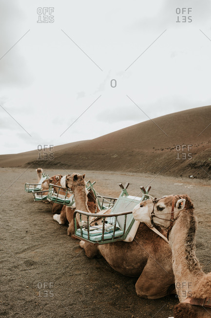 Herd of saddled camels lying on ground near hill slope on cloudy day in wonderful countryside