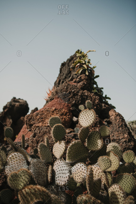 Bunch of prickly cactus