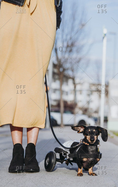 Crop woman walking with paralyzed handicapped Dachshund dog with wheelchair on street