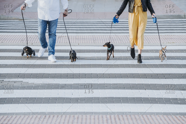 Back view of crop woman and man walking with pets and paralyzed handicapped Dachshund dog with wheelchair on street