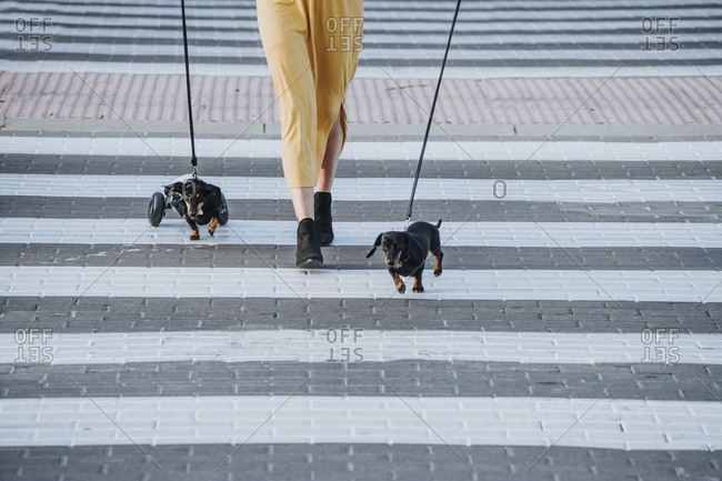 Crop woman walking with pets and paralyzed handicapped Dachshund dog with wheelchair on street