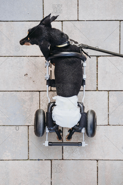 From above paralyzed handicapped Dachshund dog with wheelchair walking on street