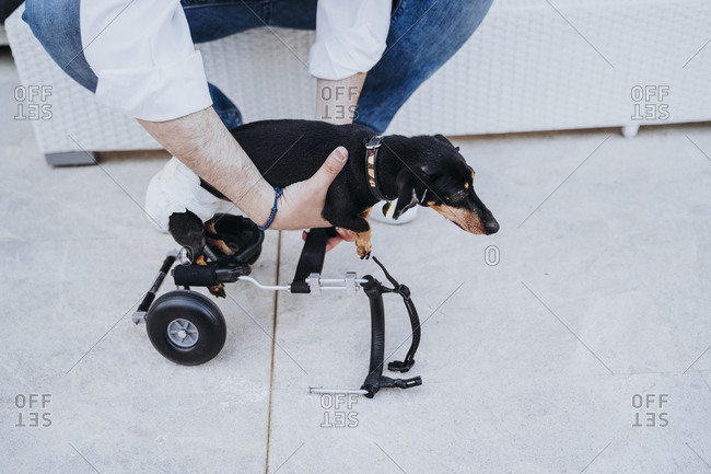 From above crop male fixing wheelchair on paralyzed handicapped Dachshund dog