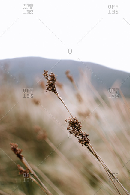Closeup dry wild plant growing on blurred background of meadow on gray day in countryside