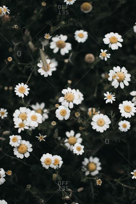 Amazing daisy flower field