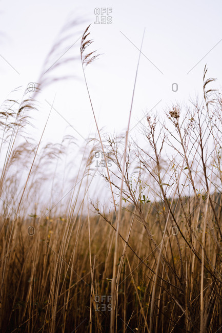 Tall dry grass waving under wind against gray sky in wonderful field in countryside