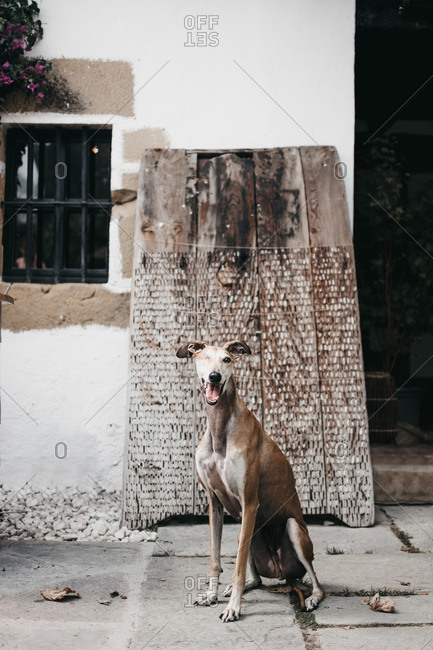 Amazing Spanish greyhound sitting on pavement outside weathered building on street of old town