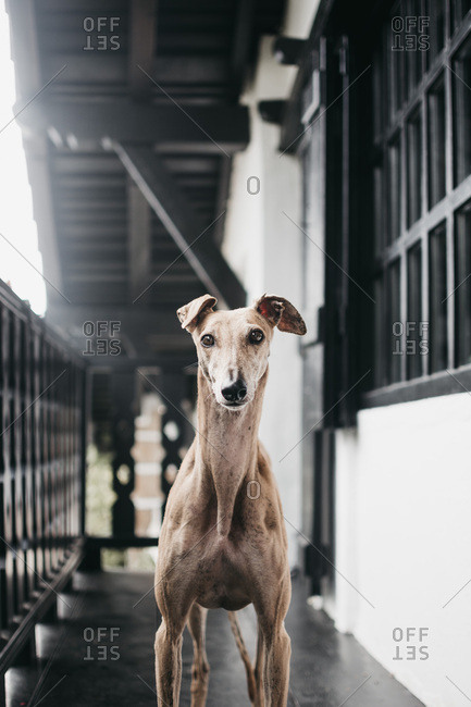 Cute Spanish greyhound relaxing on comfortable cozy home