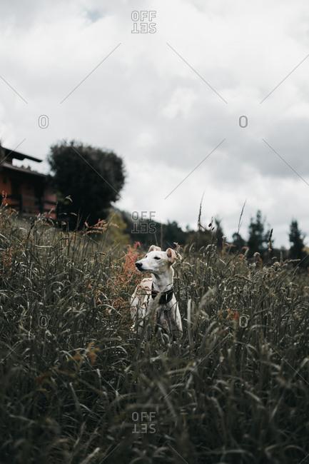 Amazing Spanish greyhound on grass of forest