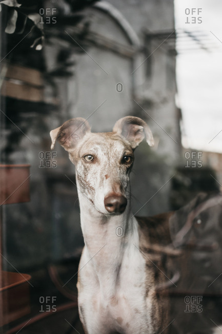 Adorable Spanish greyhounds staring at camera while sitting behind window at home