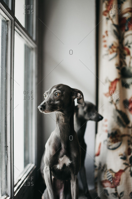 Adorable Spanish greyhounds looking through window while sitting behind window at home