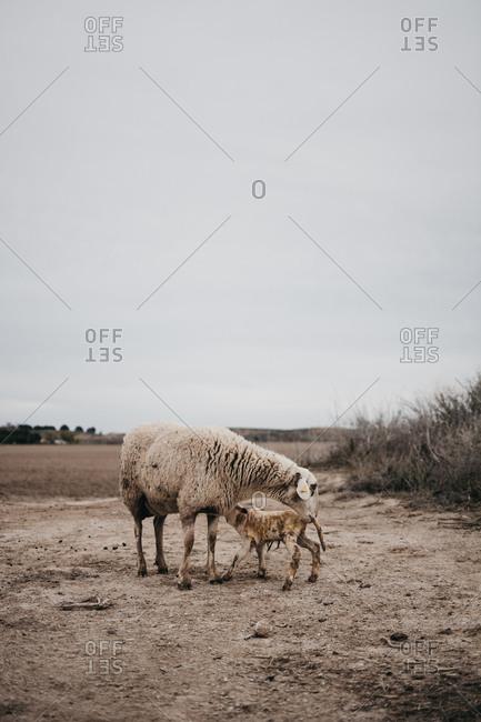 Sheep grazing in the mountain