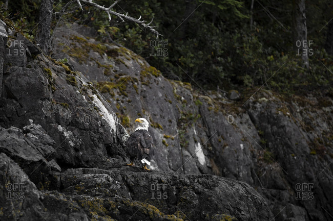 Canada, British Columbia, Johnstone Strait, Bald Eagle on Hanson Island