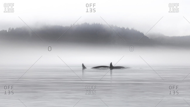 Canada, British Columbia, Orca whales in the Johnstone Strait