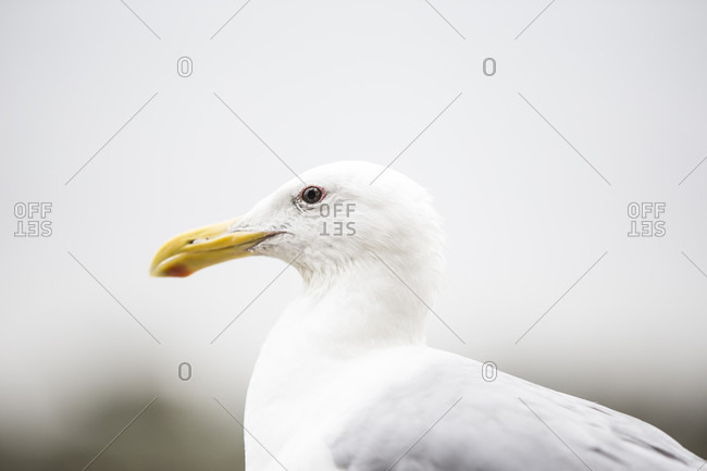 Canada, British Columbia, Vancouver, seagull, close-up