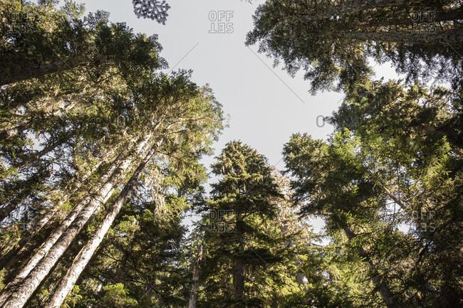 Canada, British Columbia, Garibaldi Provincial Park, trees, conifers