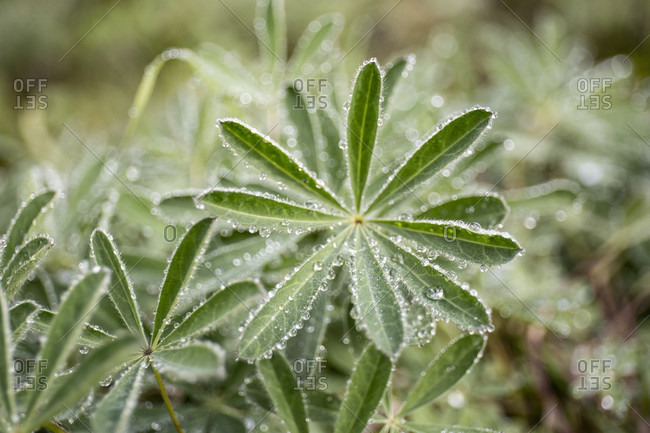 Canada, British Columbia, Garibaldi Provincial Park, Panorama Ridge, vegetation, leaves with dewdrops