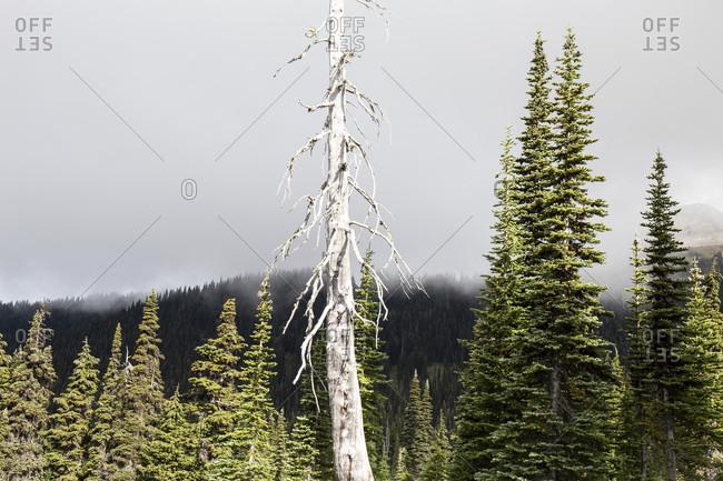 Canada, British Columbia, Garibaldi Provincial Park, Panorama Ridge, forest, dead tree